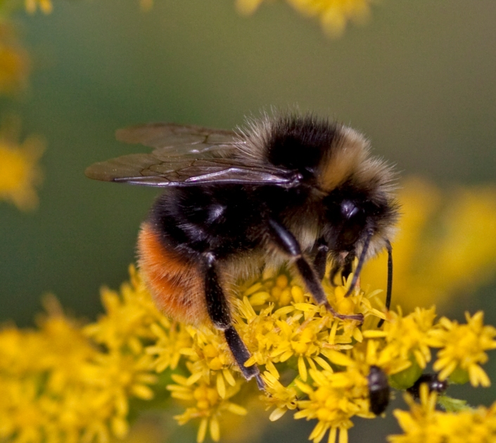 bumble-bee-why-are-bees-dying-jessicas-wandelust-jessica-nicole-griffiths